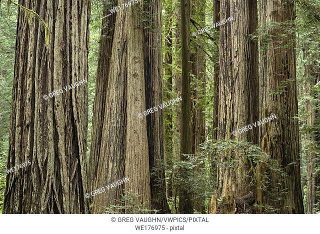 Giant redwood trees along Cal Barrel Road in Prairie Creek Redwoods State Park, California