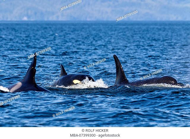 Northern resident killer whale pod travelling in Queen Charlotte Strait off Northern Vancouver Island, British Columbia, Canada