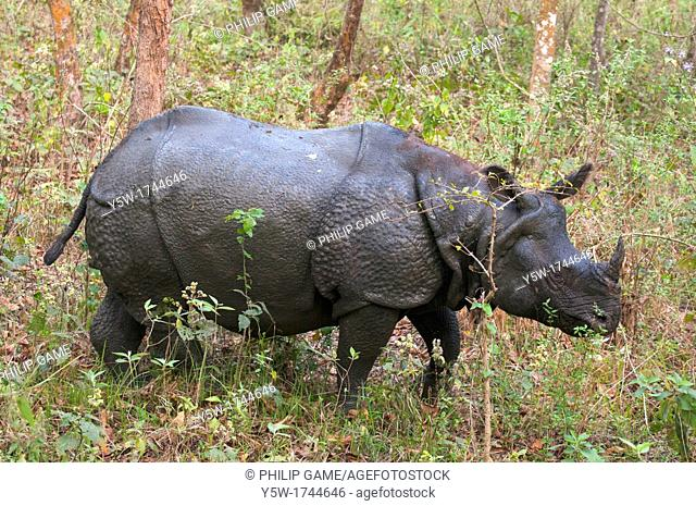 One-horned rhino in Chitwan National Park, Nepal