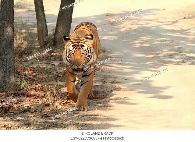 Indischer Tiger im Nationalpark Bandhavgarh