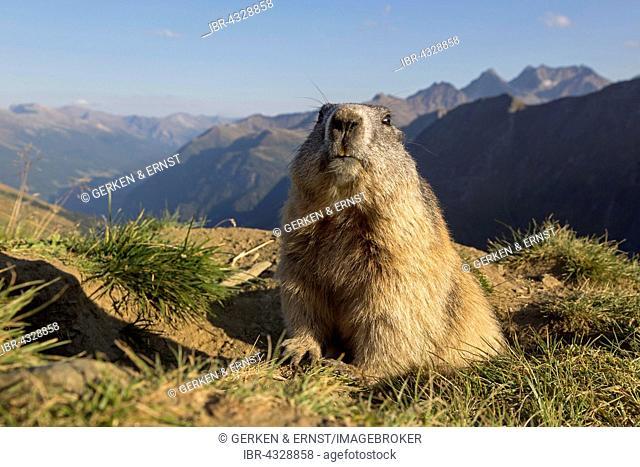 Alpine marmot (Marmota marmota), High Tauern National Park, Carinthia, Austria