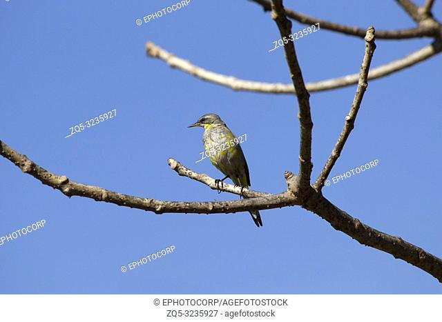 Close-up of Great crested flycatcher sitting on tree branch