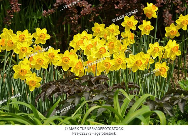 Yellow Daffodils w/ orange cups (Narcissus cv.). Bellevue Botanical Garden, WA