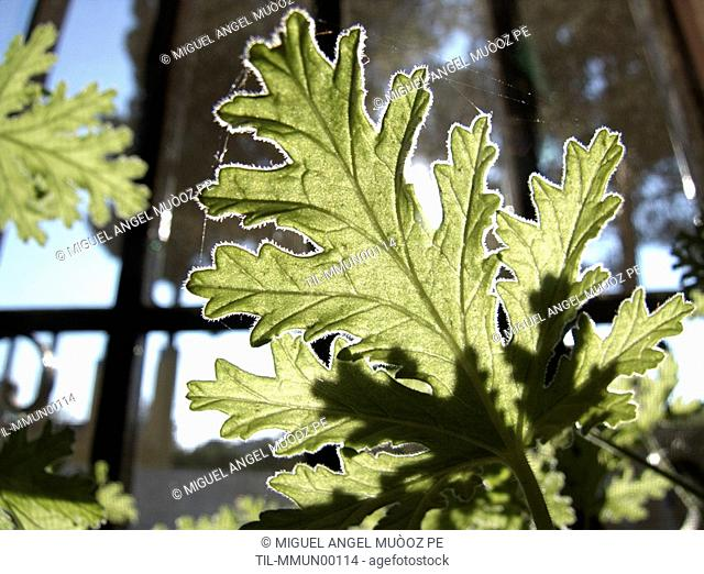 Lemon geranium Pelargonium crispum in a window
