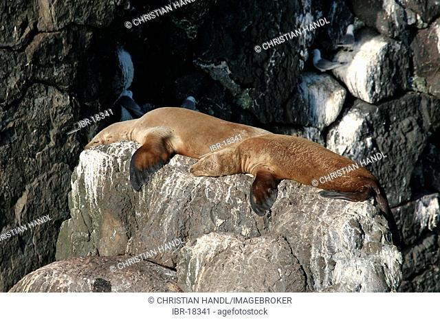 Stellar Sea Lions eumetopias jubatus on a rock in the Resurrection Bay Alaska USA