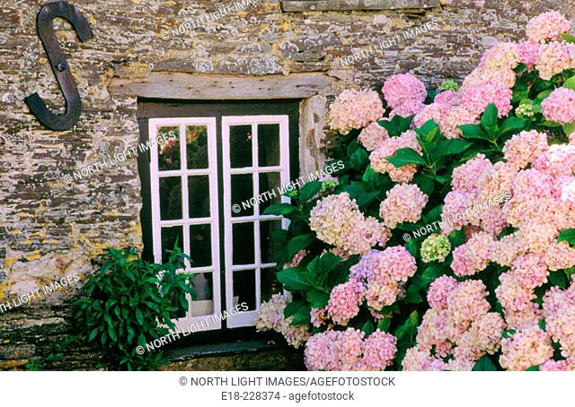 Historic old Post Office with hortensias (Hydrangea sp.). Tintagel, Cornwall. England. UK