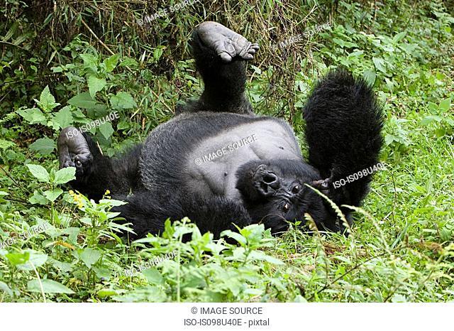 Mountain gorilla lying on back
