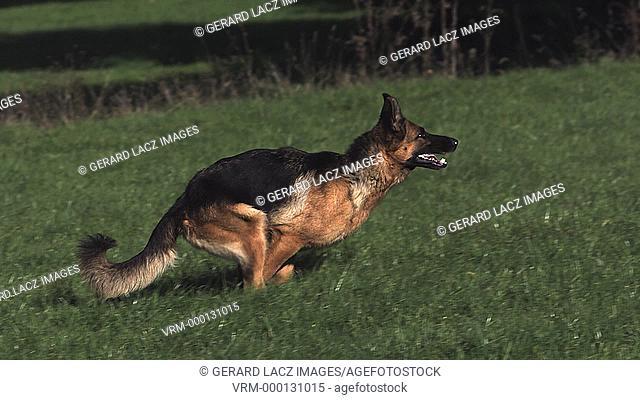 Domestic Dog, German Shepherd Dog, Adult running on Grass, Slow motion