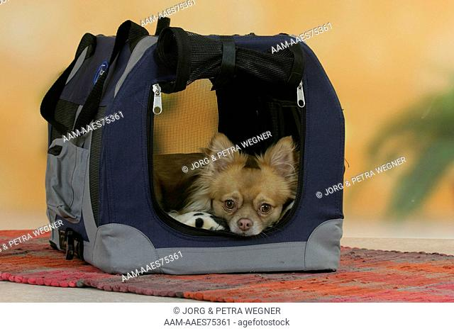 Chihuahua, longhaired, in kennel,dog carrier
