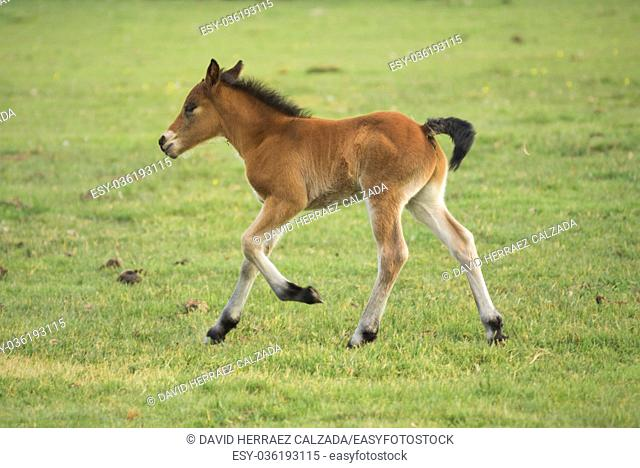 Foal running on the meadow in the zoologic park