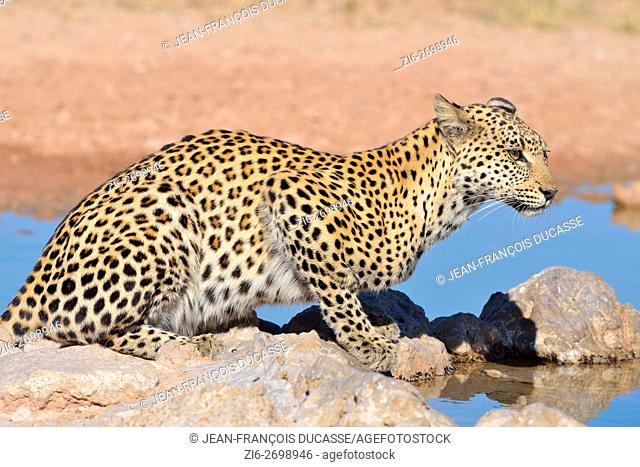 Leopard (Panthera pardus), sitting at waterhole, Kgalagadi Transfrontier Park, Northern Cape, South Africa, Africa