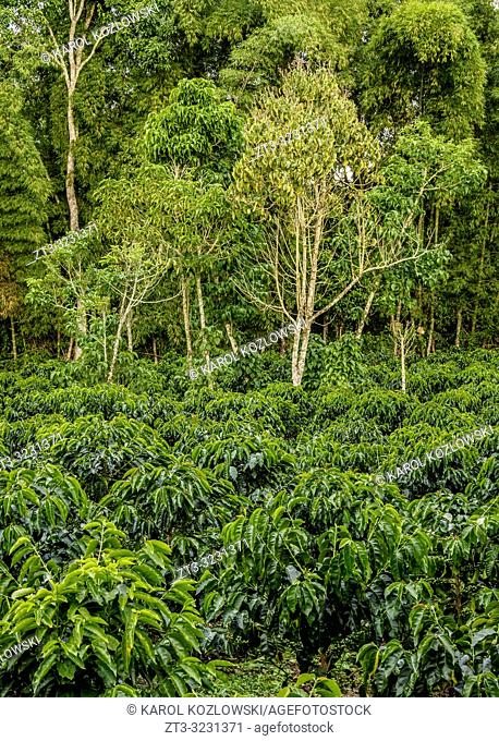 Coffee Field, San Agustin, Huila Department, Colombia