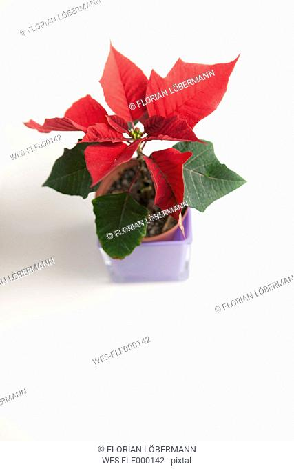 Poinsettie (lat. Euphorbia pulcherrima) christmas flower