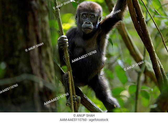 Western lowland gorilla infant 'Sopo' aged 18 months playing in a tree (Gorilla gorilla gorilla). Bai Hokou, Dzanga Sangha Special Dense Forest Reserve