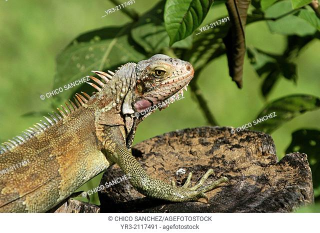 A spectacled caiman (Caiman crocodilus)sunbathes in Guarico State, Venezuela, November 28, 2004