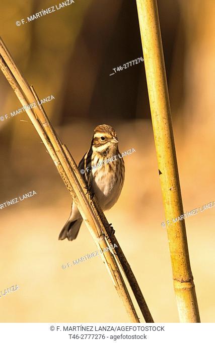 reed bunting (Emberiza schoeniclus). Photographed in Toledo
