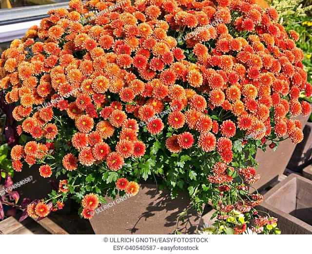 Orange red flowers in a garden pottery