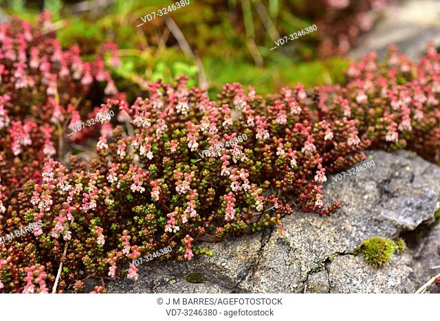 Arrocillo de los muros (Sedum brevifolium) is a succulent plant native to southwestern Europe and Morocco. This photo was taken in Babia, Leon province