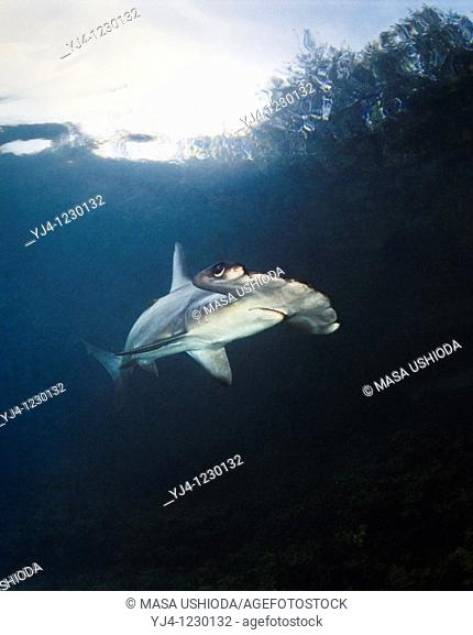 scalloped hammerhead shark, Sphyrna lewini, juvenile, Kaneohe Bay, Oahu, Hawaii, USA, Pacific Ocean, captive