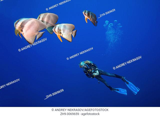 Female scuba diver floats in the blue water and looks at group of fish (Longfin batfish, Platax teira). Maldives