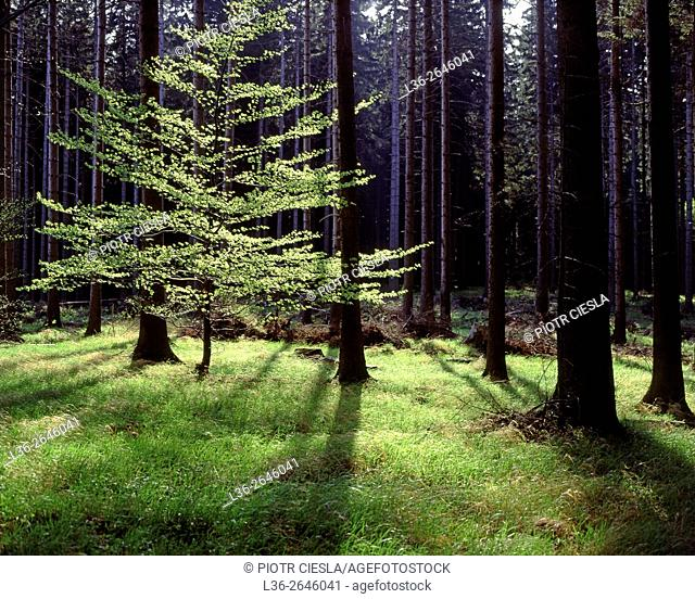 Wood in the Sudety Mountains. Poland