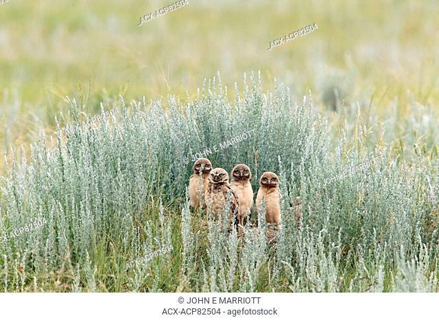 Burrowing Owls perched on burrow saskatchewan, Canada