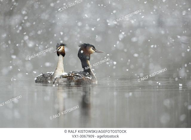 Great Crested Grebe ( Podiceps cristatus ), swimming pair, courting in falling snow, late onset of winter, snowfall, snowflakes, wildlife, Europe