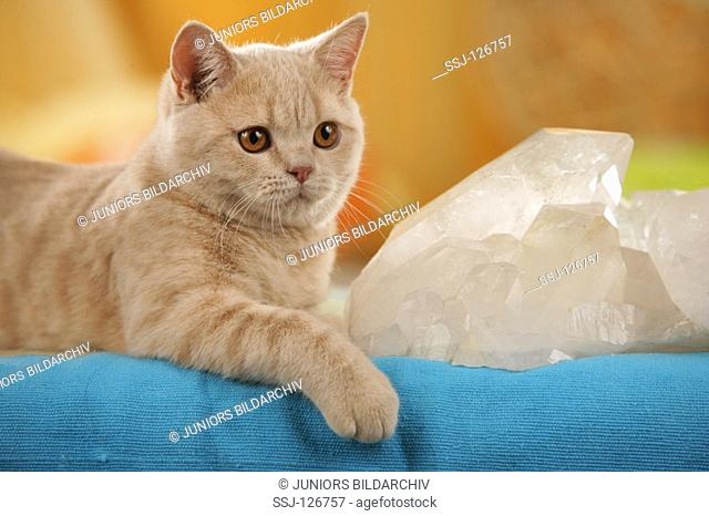 British Shorthair cat - lying next to mineral