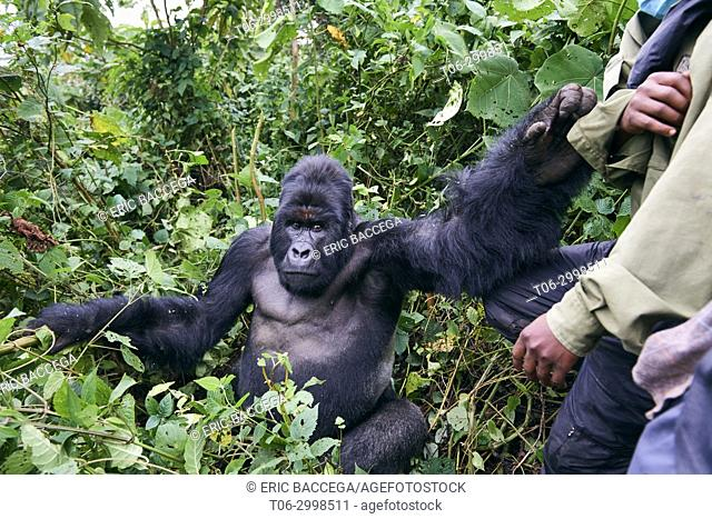 Mountain gorilla silverback (Gorilla beringei beringei) from the Humba group. This group is currently the calmest habituated Gorilla group in DRC and is named...