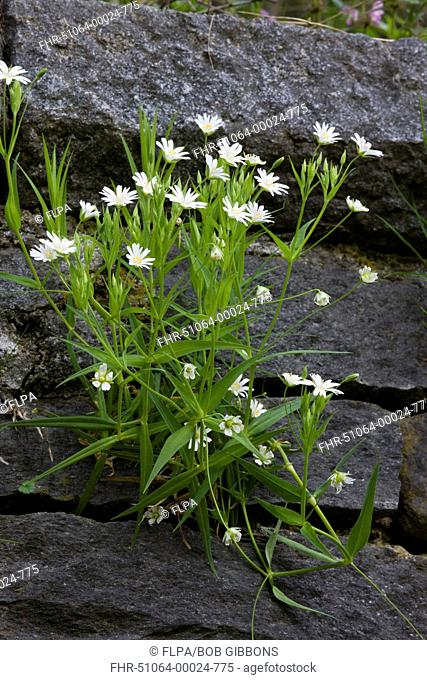 Greater Stitchwort Stellaria holostea flowering, growing on wall, Bulgaria, may