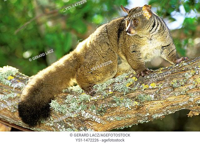Thick-Tailed Bush Baby or Greater Galago, otolemur crassicaudatus, Adult standing on Branch