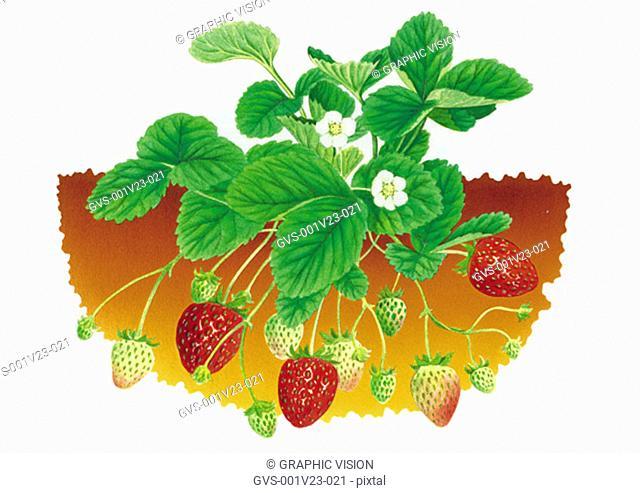 Illustration of Stawberries Growiing