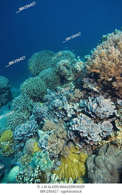 Covered coral reef with soft and stony corals, Philippines, Pacific Ocean