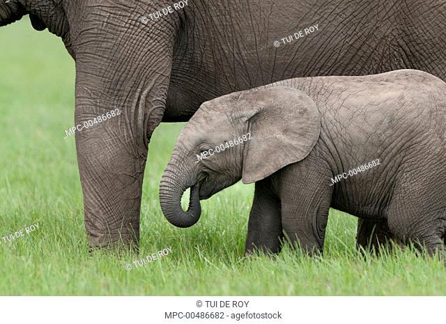 African Elephant (Loxodonta africana) calf grazing next to mother, Ol Pejeta Conservancy, Kenya