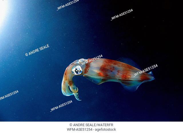 Oval Squid, Sepioteuthis lessoniana, Oahu, Hawaii, USA