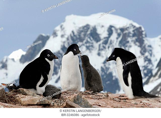 Adélie Penguins (Pygoscelis adeliae), parent birds with chicks standing in front of mountain scenery