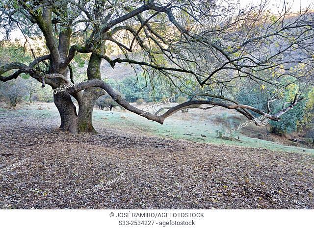 Ash tree in the Lozoya watershed. Patones. Madrid. Spain. Europe