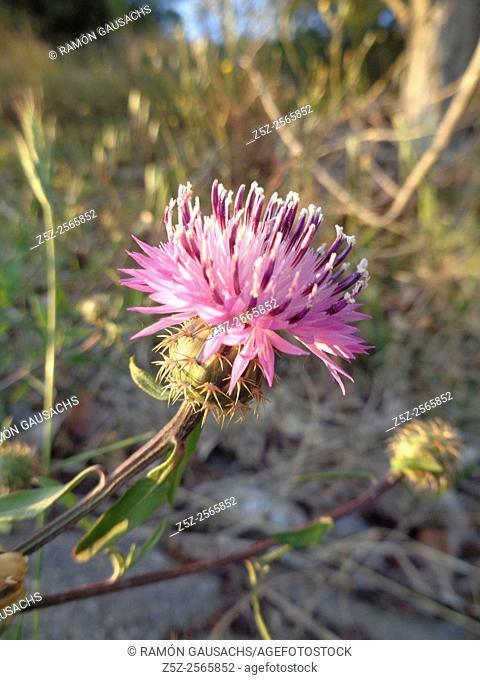 Centaurea (Centaurea aspera). Catalonia, Spain