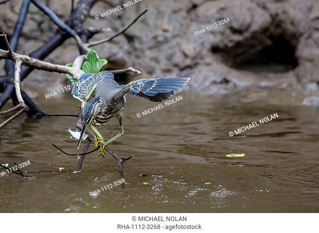 Adult striated heron (Butorides striata) catching a fish in Nauta Caño, Upper Amazon River Basin, Loreto, Peru, South America