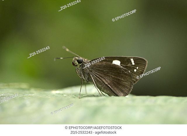 Restricted Demon butterfly, Notocrypta curvifascia, Hesperiidae, Gumti, Tripura, India