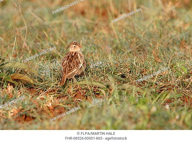 Archer's Lark (Heteromirafra archeri) adult, standing in grassland, Liben Plains, Negele, Borana Zone, Oromia Region, Ethiopia, November