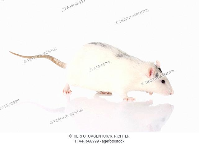 walking fancy rat