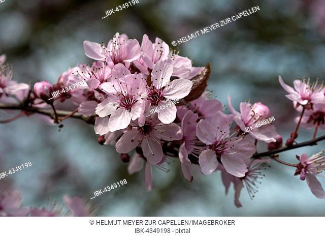Black cherry plum (Prunus cerasifera Nigra), twig with flowers, Bavaria, Germany