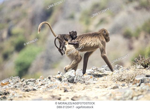 Africa, Ethiopia, Rift Valley, Debre Libanos, Gelada or Gelada baboon (Theropithecus gelada), adult female with a baby in the evening at the edge of the cliff...