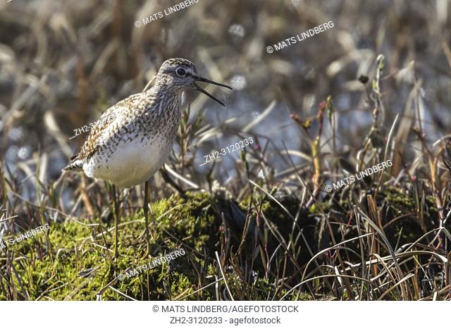 Wood sandpiper, Tringa glareola, walking in a moss looking for food, his beak is open, Gällivare county, Swedish Lapland, Sweden