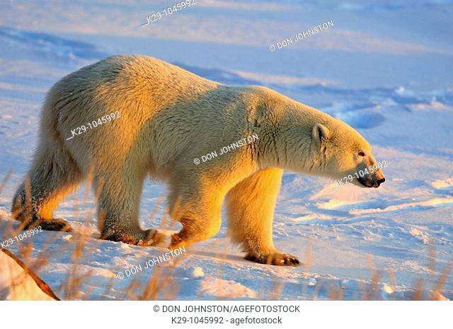 Polar bear Ursus maritimus