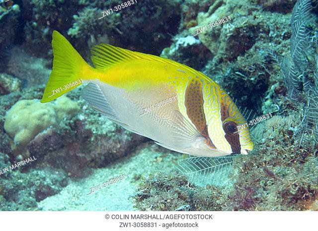 Virgate Rabbitfish (Siganus virgatus, Siganidae family), Pyramids dive site, Amed, east Bali, Indonesia