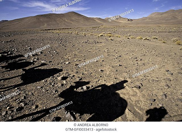 Shadow of Arabian camels in Algeria in Africa