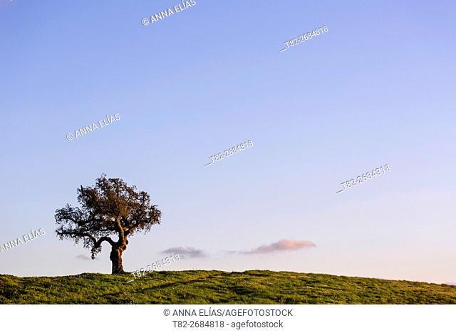 Lonely oak on blue sky in the evening, Alentejo, Portugal, Europe