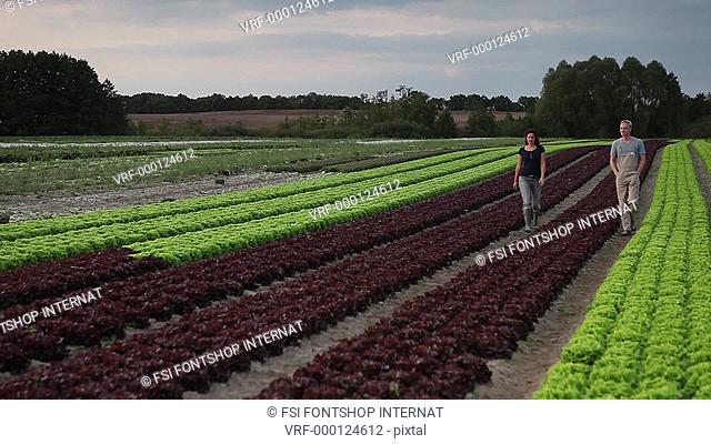 WS, TD, CU, R/F man and woman walking down rows of lettuce on an organic farm